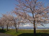 2005sakura.jpg